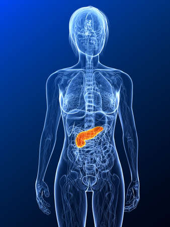 pancreas: female anatomy with highlighted pancreas