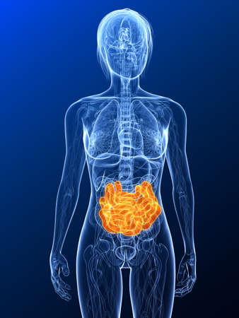 female anatomy with highlighted small intestines Stock Photo - 7299687