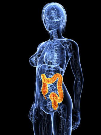 female anatomy with highlighted colon Stock Photo - 7299689