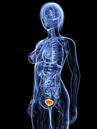 inflamed: female anatomy with highlighted bladder Stock Photo