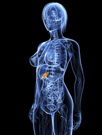 female anatomy with highlighted gall bladder Stock Photo - 7314782
