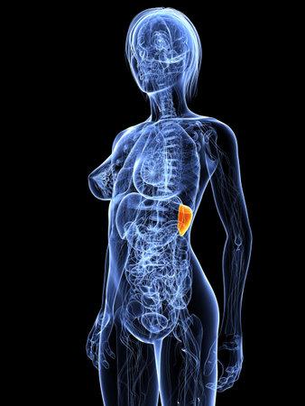 female anatomy with highlighted spleen photo