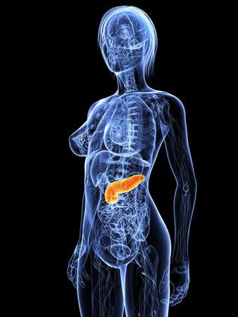 pankreas: weibliche Anatomie mit hervorgehobenen Bauchspeicheldr�se