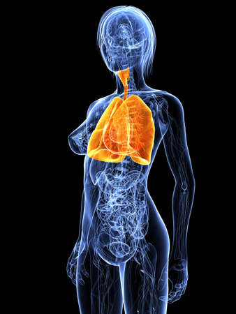 female anatomy with highlighted lung Stock Photo - 7314752