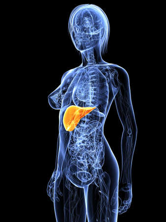 female anatomy with highlighted liver Stock Photo - 7314766