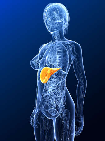 female anatomy with highlighted liver Stock Photo - 7299642