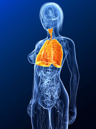 female anatomy with highlighted lung Stock Photo - 7299644