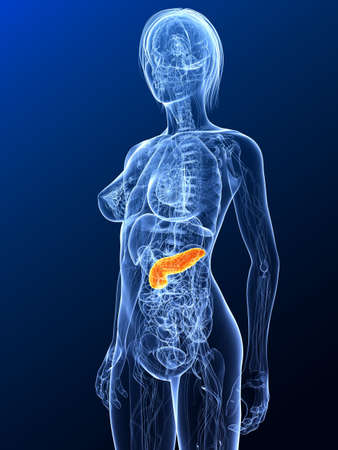 highlighted: female anatomy with highlighted pancreas