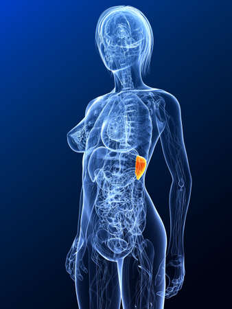 female anatomy with highlighted spleen photo