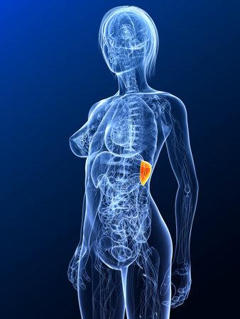 female anatomy with highlighted spleen Stock Photo - 7299685
