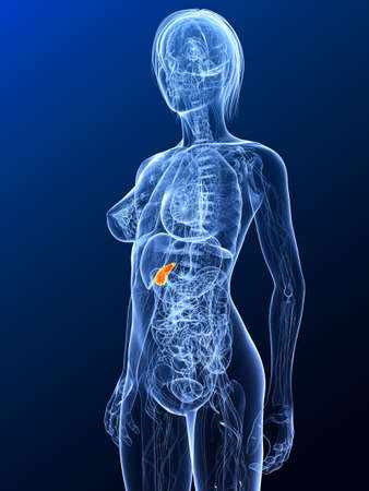 female anatomy with highlighted gall bladder Stock Photo - 7299686
