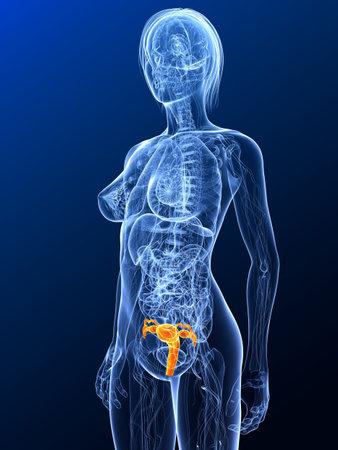 highlighted: Anatom�a femenina con �tero resaltada  Foto de archivo
