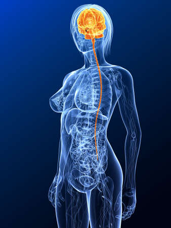 female anatomy with highlighted brain photo
