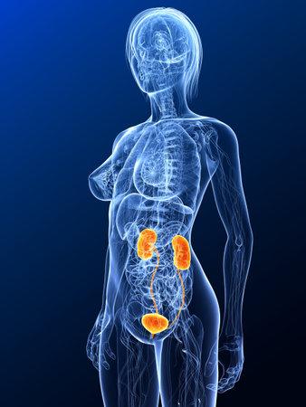 highlighted: Anatom�a femenina con sistema urinario resaltada