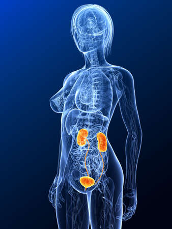 female anatomy with highlighted urinary system Stock Photo - 7299637