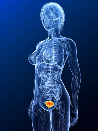 female anatomy with highlighted bladder Stock Photo - 7299682