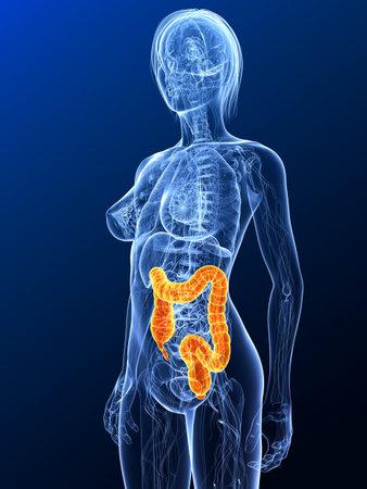 bowel disease: Anatom�a femenina con dos puntos resaltados