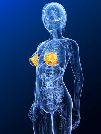 female anatomy with highlighted mammary  photo