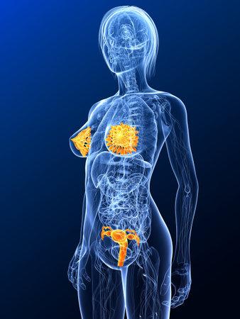 sexo femenino: Anatomía femenina con órganos sexuales resaltada