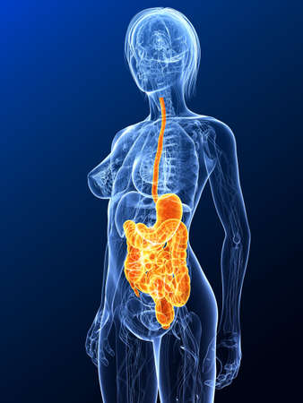female anatomy with highlighted digestive system photo