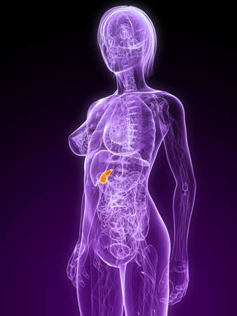 female anatomy with highlighted gall bladder Stock Photo - 7299886