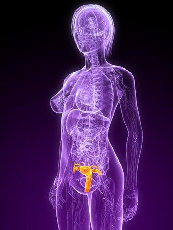 utero: anatomia femminile con utero evidenziato  Archivio Fotografico