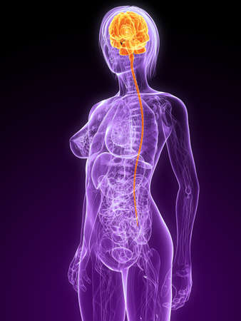 female anatomy with highlighted brain Stock Photo - 7299887