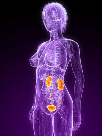 female anatomy with highlighted urinary system Stock Photo - 7299883