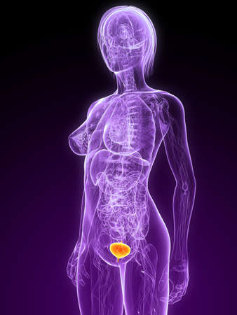 female anatomy with highlighted bladder Stock Photo - 7299888