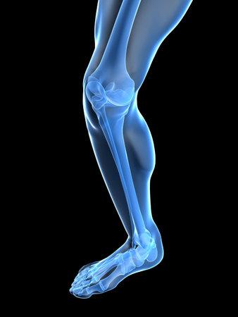 anatomy leg: healthy skeletal knee