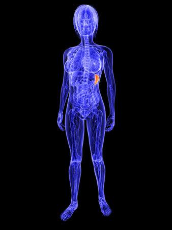 female anatomy with highlighted spleen Stock Photo - 7286255