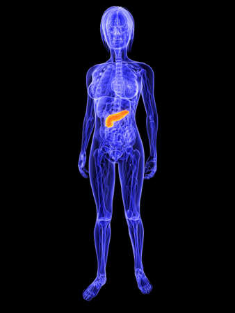 female anatomy with highlighted pancreas Stock Photo - 7286254