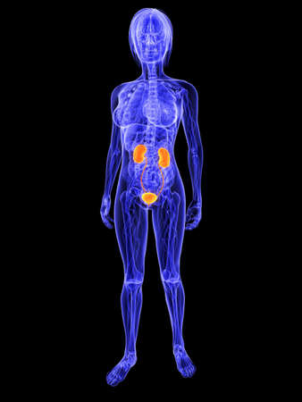 female anatomy with highlighted urinary system Stock Photo - 7286253