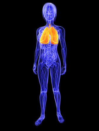 female anatomy with highlighted lung Stock Photo - 7286248