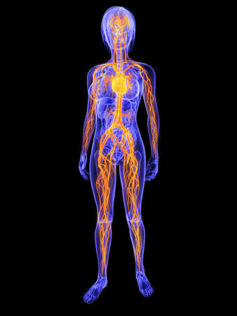 highlighted: female anatomy with highlighted vascular system