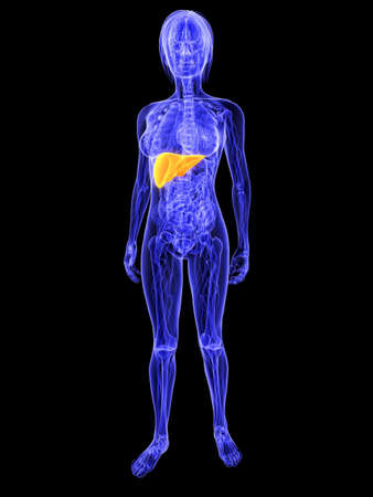 female anatomy with highlighted liver Stock Photo - 7286252