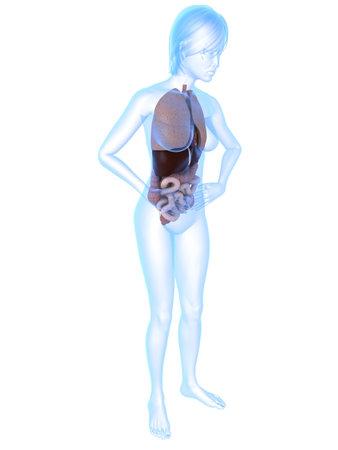 bellyache: transparent female body with organs