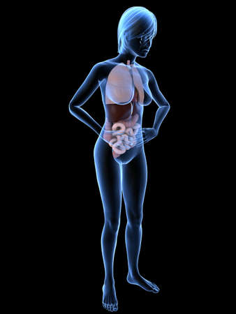 transparent female body with organs Stock Photo - 7300127
