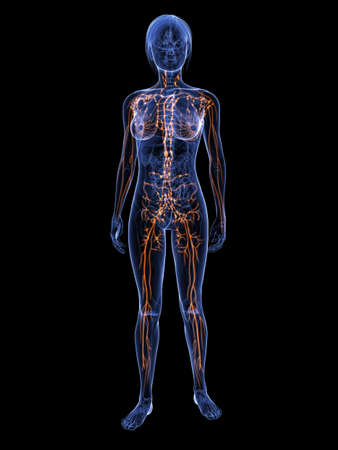 lymph nodes: female anatomy with highlighted lymphatic system Stock Photo