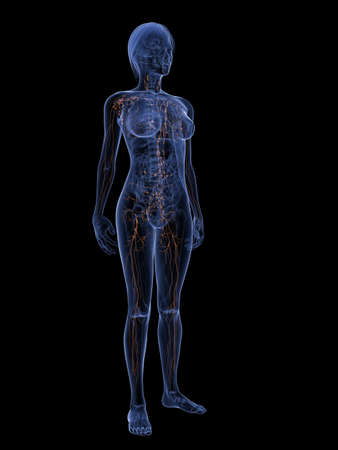 lymphatic vessels: female anatomy with highlighted lymphatic system Stock Photo