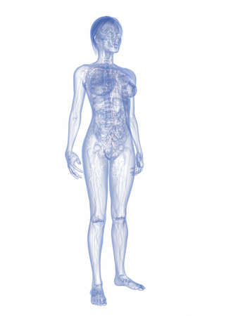 3d rendered illustration of a female anatomy with highlighted lymphatic  system illustration