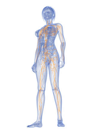 lymphatic vessel: 3d rendered illustration of a female anatomy with highlighted lymphatic  system Stock Photo