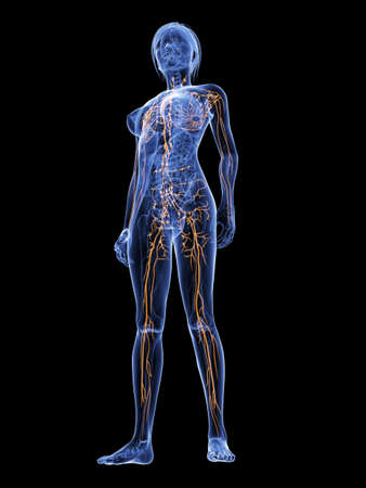 lymphatic: 3d rendered illustration of a female anatomy with highlighted lymphatic  system Stock Photo
