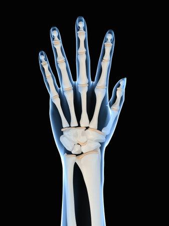 phalanx:  human skeletal hand