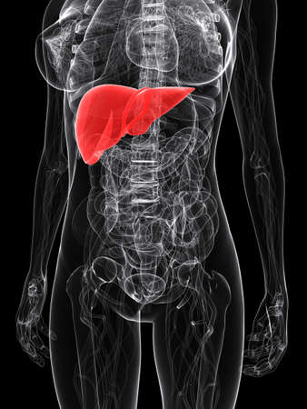 female anatomy with highlighted liver Stock Photo - 7286205