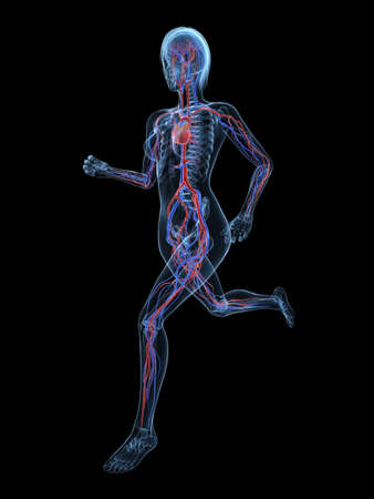 bloodstream: running female skeleton with vascular system