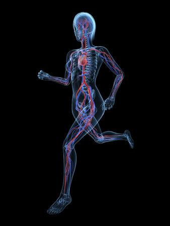 bloodstream: running female skeleton with vascular system