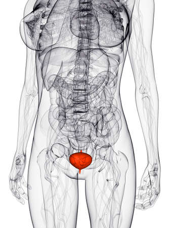 female anatomy with highlighted bladder photo