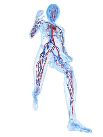 running female skeleton with vascular system photo