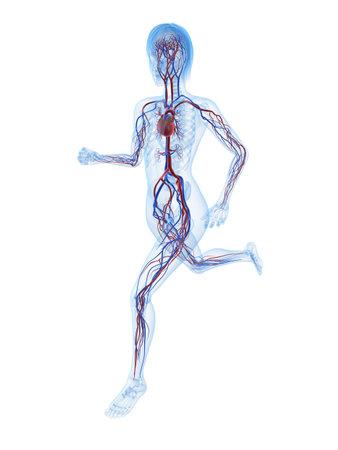 cuerpo femenino: ejecutando el esqueleto femenino con sistema vascular